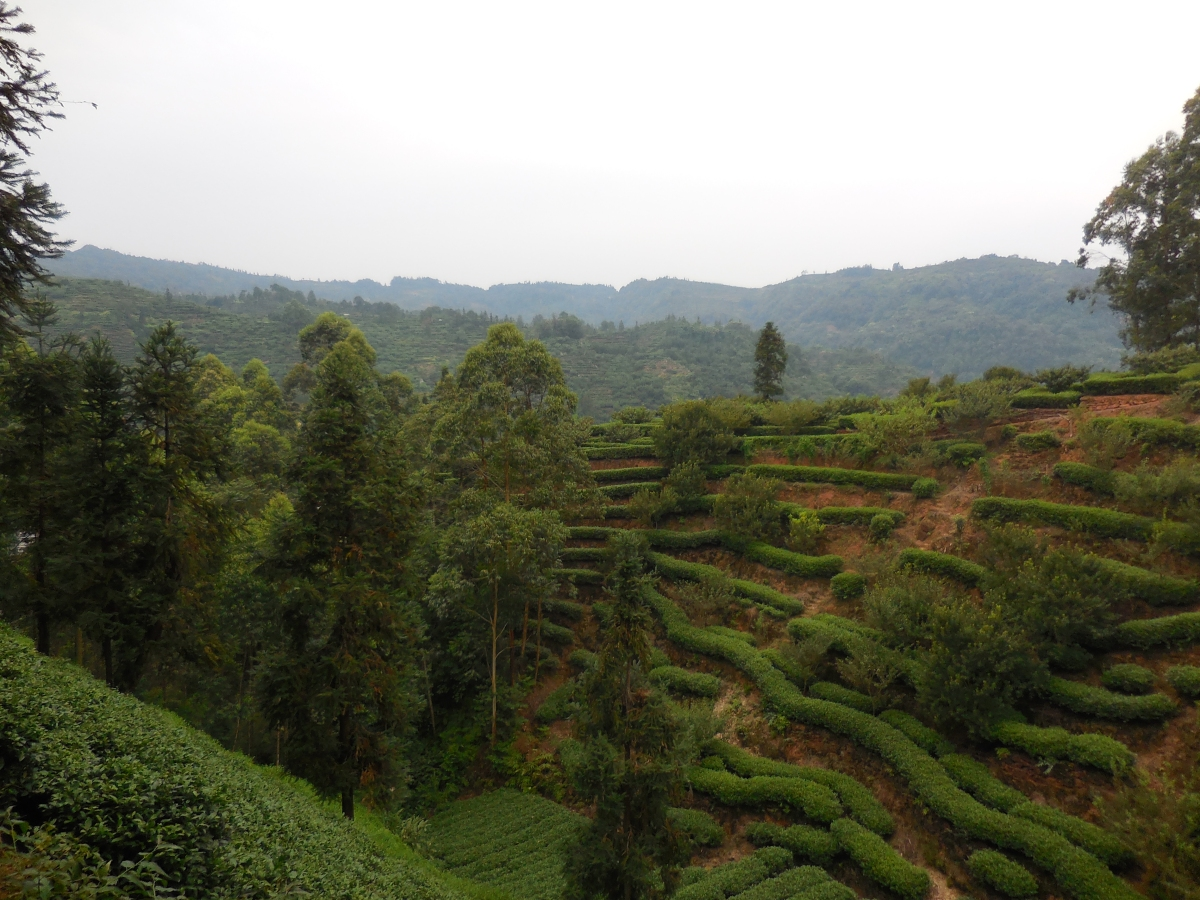 Sipping Time: Tea in SichuanProvince